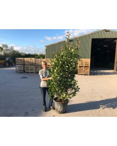 Photinia Red Robin 55 Litre Pot 200/250cm