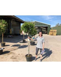 Photinia Red Robin 3/4 Std 25 Litre Pot 120/130cm Stem