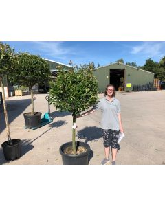 Photinia Red Robin 65 Litre Pot Half Standard 90-100cm Head