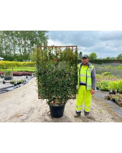 Photinia x Fraseri Red Robin Compacta Wall frame 55 Litre 160x110
