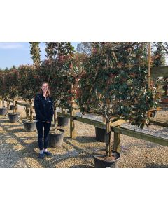 photinia pleached extra wide