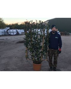 Photinia x Fraseri Red Robin Wall frame 25 Litre 150x90