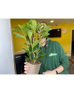 Laurel Hedging Novita 3 Litre Pot  40-60cm