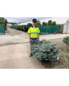 Picea Pungens Glauca Globosa 45 Litre Pot