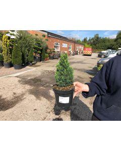 Picea Abies Piccolo 2.5 Litre Pot