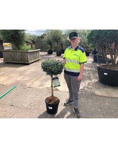 Picea Sit Silberzwerg 15 Litre Pot Quarter Standard