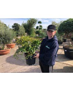 Pieris Japonica Browers Beauty 7.5 Litre Pot