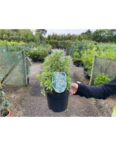 Pieris jap. Little Heath Green 2 Litre Pot