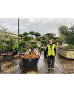 Pinus Sylvestris Watereri Bonsai 500 Litre Pot