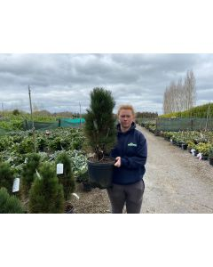 Pinus Nigra Green Tower 10 Litre Pot