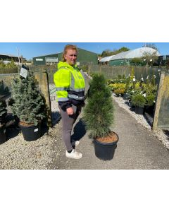 Pinus Nigra Green Tower 30 Litre Pot