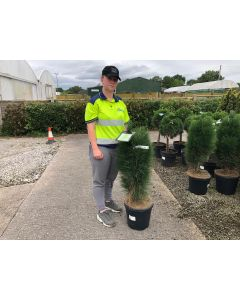 Pinus Nigra Nigra 55 Litre Pot 150-160cm