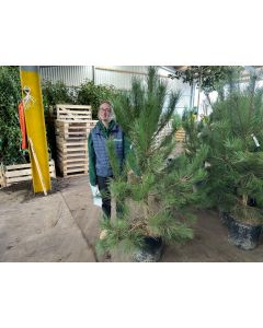Pinus Nigra Nigra 35 Litre Pot 160cm