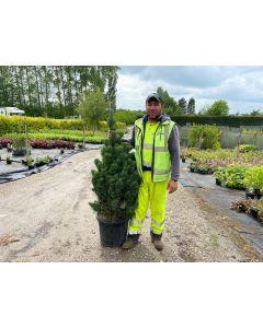 Pinus Sylvestris 35 Litre Pot 125/150cm