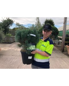 Pinus Sylvestris Watereri 15 Litre Pot