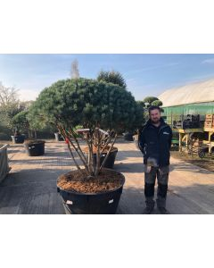 Pinus Sylvestris Umbrella Bonsai 500 Litre Pot