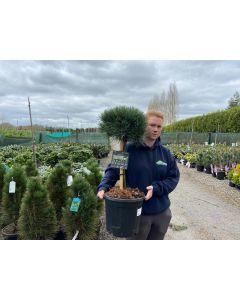 Pinus Sylvestris Watereri 12 Litre Pot Quarter Standard