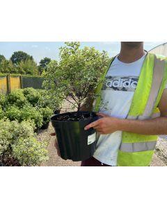 Pittosporum Tenuifolium Variegatum 10 Litre Pot