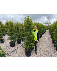 Prunus lusitanica Angustifolia 150/175cm 30 Litre Pot
