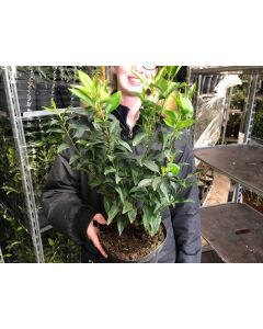 Portuguese Laurel 11cm Pot 25/30cm