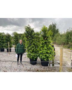Prunus Lusitanica 90 Litre Pot 220cm Extra Wide