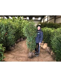 Portuguese Laurel Root Ball 140/160cm Pre-Order