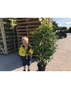 Prunus Lusitanica Myrtifolia 7 Litre