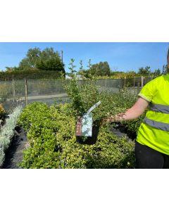 Potentilla fruticosa Abbotswood 4.5 Litre Pot