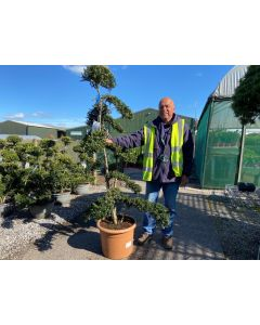 Ilex Crenata Kinme Double Stem Bonsai 30 Litre Pot 160cm Tall With Pot