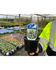 Primula Vialii 3 Litre Pot - bigger than the 1.5l