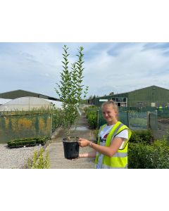 Green Privet 4.5 Litre