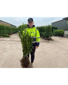 Green Privet Bare Root 40-60 cm Digging Now