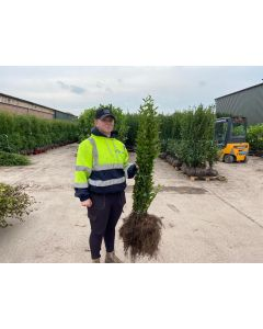 Green Privet Bare Root 80/100cm Digging Now