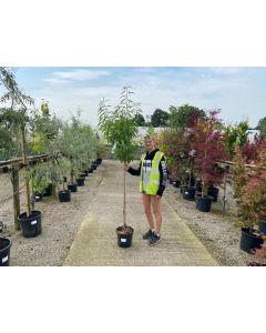 Prunus Amygdalus Angelique 25/30 Litre Pot