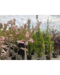 Prunus serrulata Kanzan 25 Litre Pot