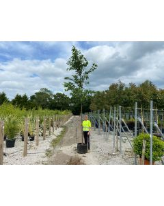 Prunus Kanzan Extra Heavy Standard 12-14 cm Girth