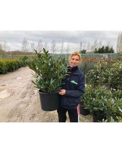 Prunus Otto Luyken Root Ball 50-60cm