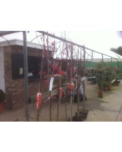 Prunus Taoflora Red 15 Litre Pot