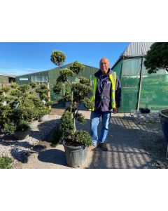 Ilex Crenata Kinme Double Stem Bonsai 30 Litre Pot 150cm Tall With Pot