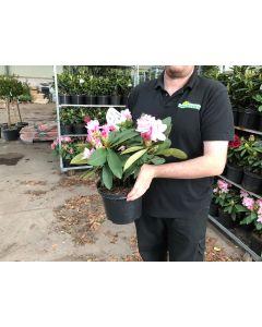 Rhododendron Hybrid Albert Schwietzer 5 Litre Pot