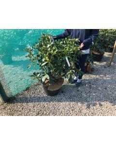 Rhododendron Hybrid Mrs C.E. Pearson 25 Litre Pot 100 cm