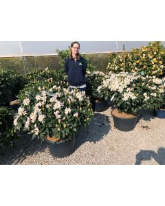Rhododendron Hybrid Cunninghams White 45 Litre Pot