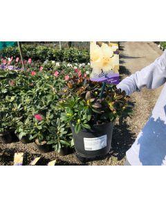 Rhododendron Shamrock 2l