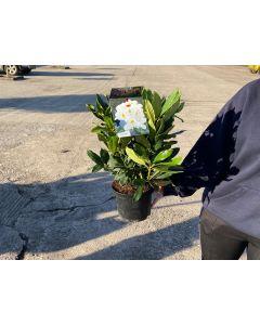 Rhododendron Hybrid Madame Masson 2 Litre Pot