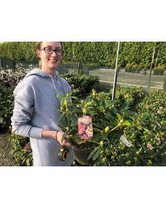 Rhododendron Yakushimanum Percy Wiseman 3 Litre Pot