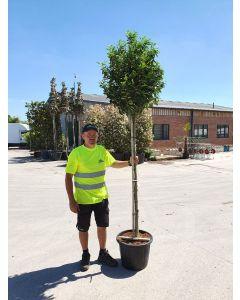 Prunus Lusitanica Myrtifolia 3/4 Standard 35 Litre Pot 8/10G