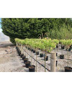 Salix integra Hakuro Nishiki 5 litre Pot 80cm Stem