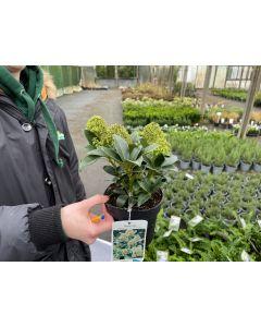 fragrant cloud flowers on a specimen plant