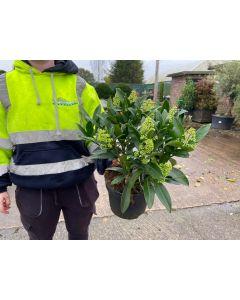 Skimmia Japonica Kew Green 3 Litre Pot Extra Bushy