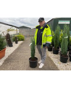 Juniperus Scopulorum Blue Arrow 15 Litre Pot 90/100cm